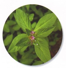 Mint-Spearmint-naanaa-Baladi